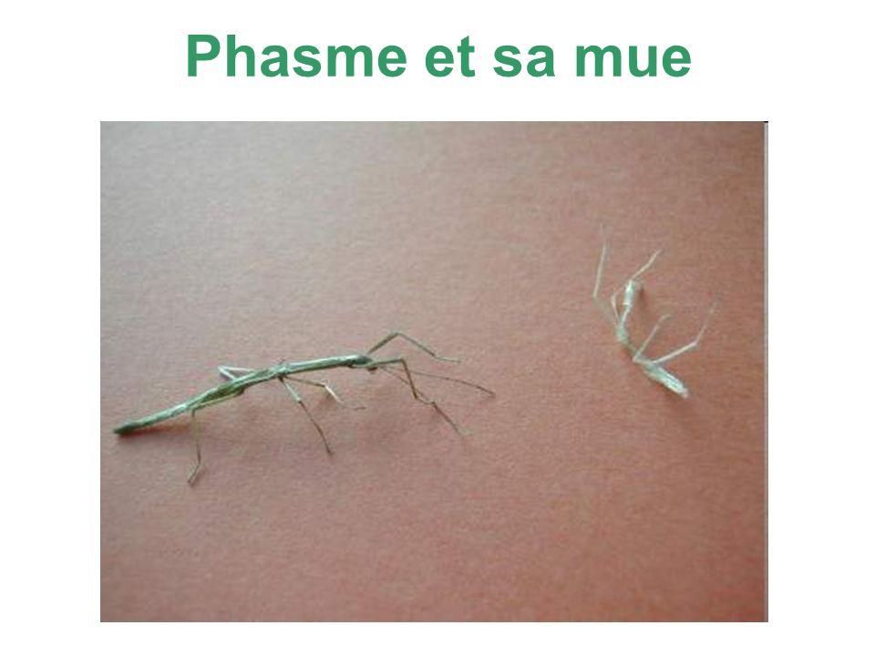 Phasme et sa mue