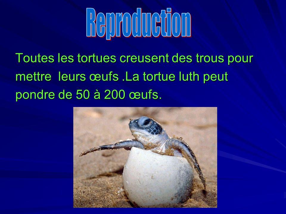 Toutes les tortues creusent des trous pour mettre leurs œufs.La tortue luth peut pondre de 50 à 200 œufs.