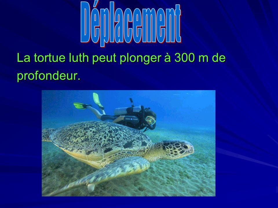 La tortue luth peut plonger à 300 m de profondeur.