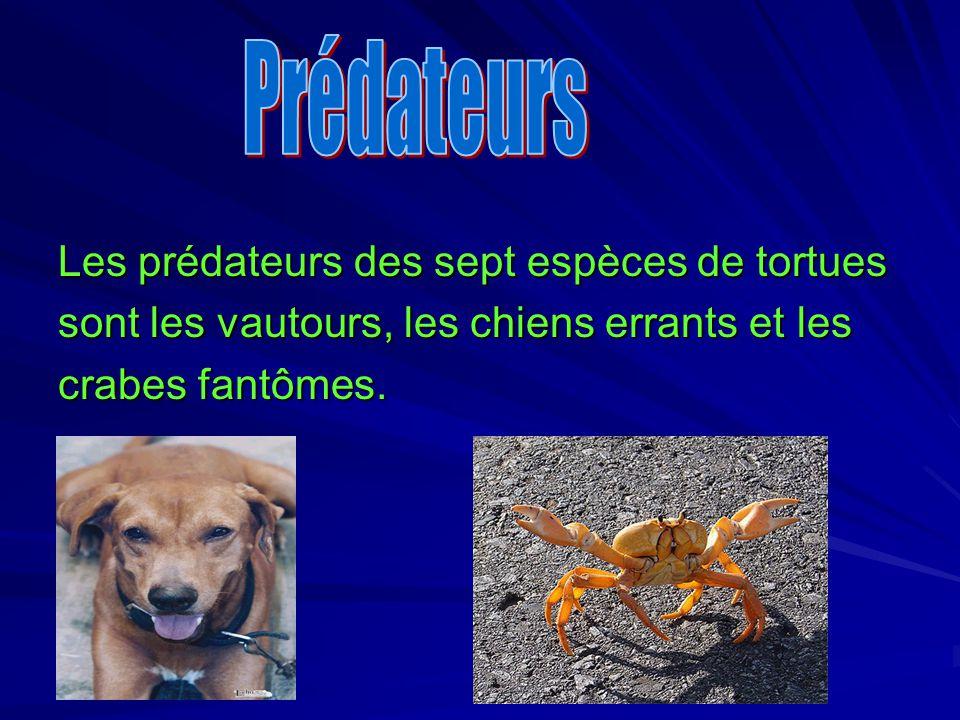 Les prédateurs des sept espèces de tortues sont les vautours, les chiens errants et les crabes fantômes.