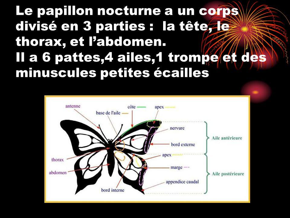 Le papillon nocturne a un corps divisé en 3 parties : la tête, le thorax, et l'abdomen. Il a 6 pattes,4 ailes,1 trompe et des minuscules petites écail