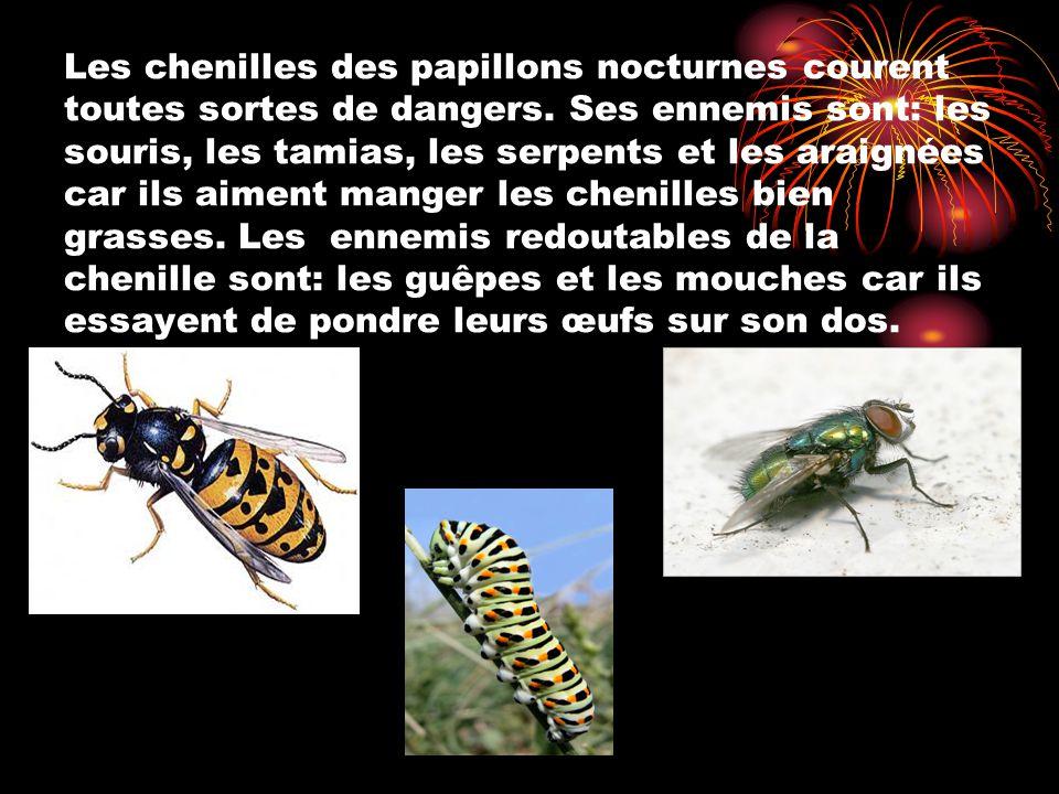 Les chenilles des papillons nocturnes courent toutes sortes de dangers. Ses ennemis sont: les souris, les tamias, les serpents et les araignées car il