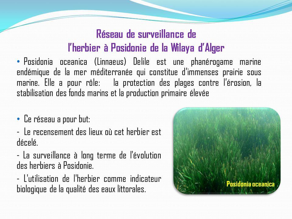 Réseau de surveillance de l'herbier à Posidonie de la Wilaya d'Alger Posidonia oceanica (Linnaeus) Delile est une phanérogame marine endémique de la m
