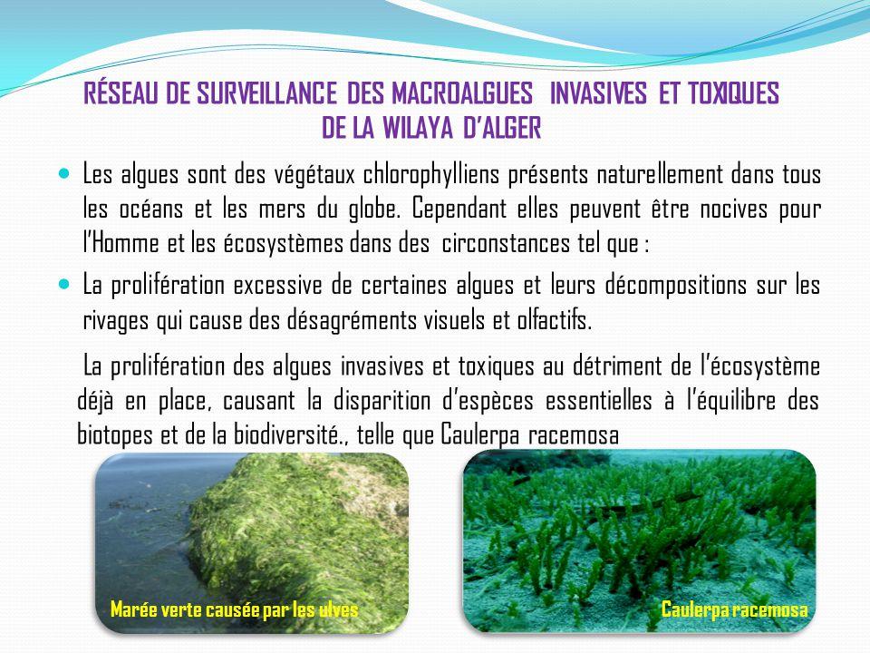RÉSEAU DE SURVEILLANCE DES MACROALGUES INVASIVES ET TOXIQUES DE LA WILAYA D'ALGER Les algues sont des végétaux chlorophylliens présents naturellement