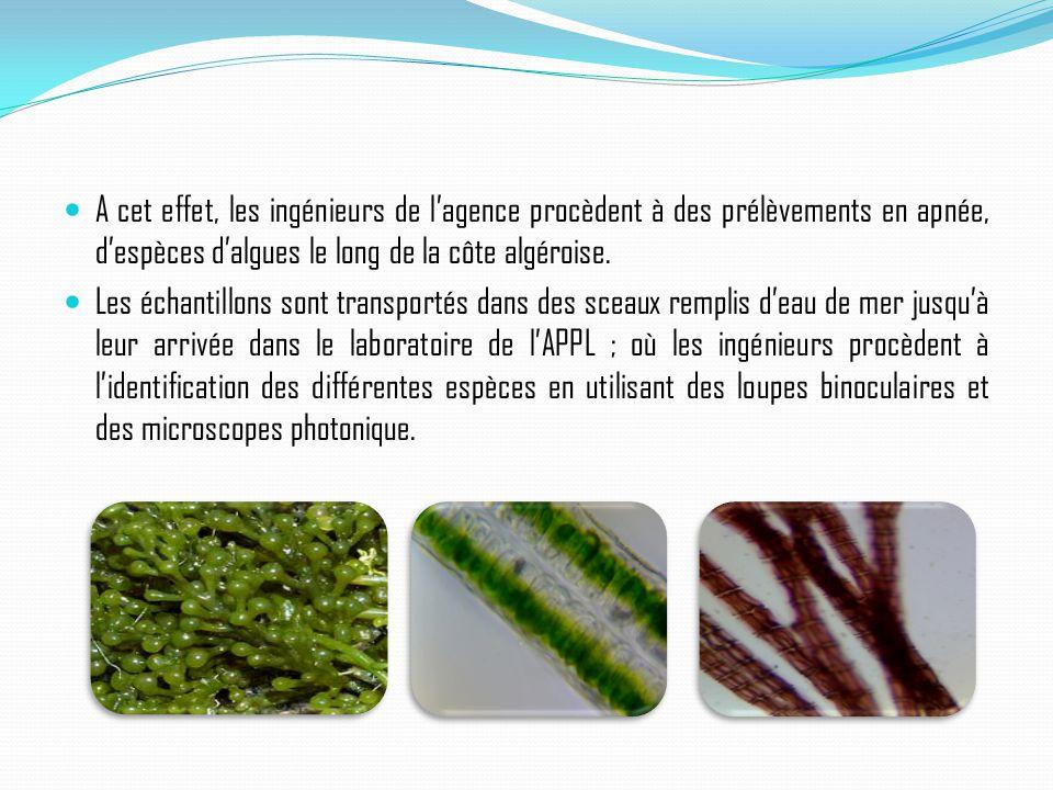 A cet effet, les ingénieurs de l'agence procèdent à des prélèvements en apnée, d'espèces d'algues le long de la côte algéroise. Les échantillons sont