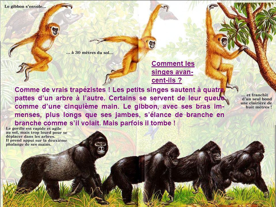 Regarde ces drôles de figures ! Le siamang gonfle un sac sous sa gorge comme un ballon et hurle dans la forêt. La figure du ouakari devient toute roug