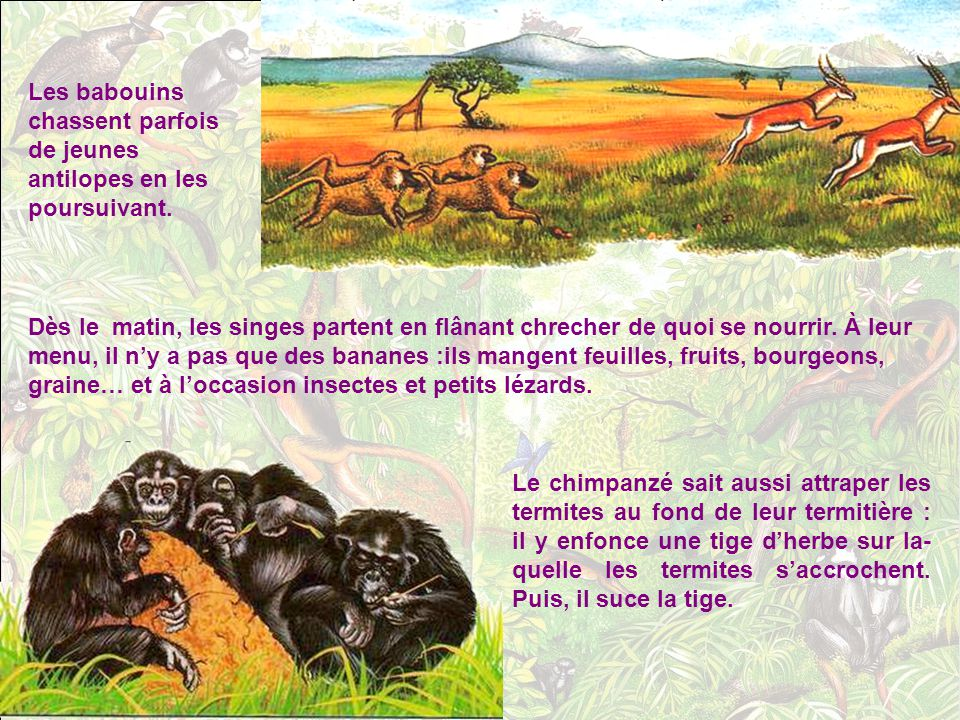 Comment les singes avan- cent-ils ? Comme de vrais trapézistes ! Les petits singes sautent à quatre pattes d'un arbre à l'autre. Certains se servent d