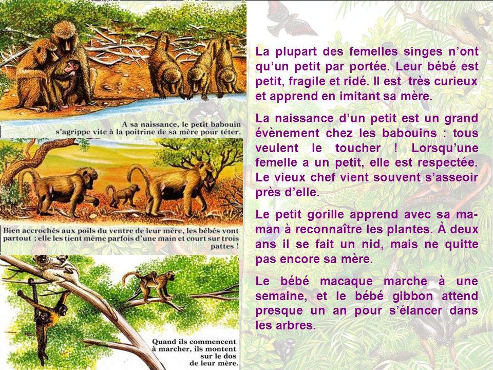 Et pour dormir? Le chimpanzé plie de grosses branches pour en faire son nid, puis il le tapisse de feuil- les ! Comme le chats, les singes dorment bea