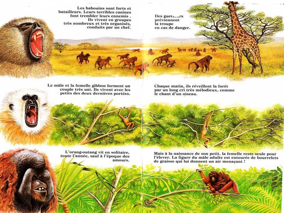 La plupart des femelles singes n'ont qu'un petit par portée.