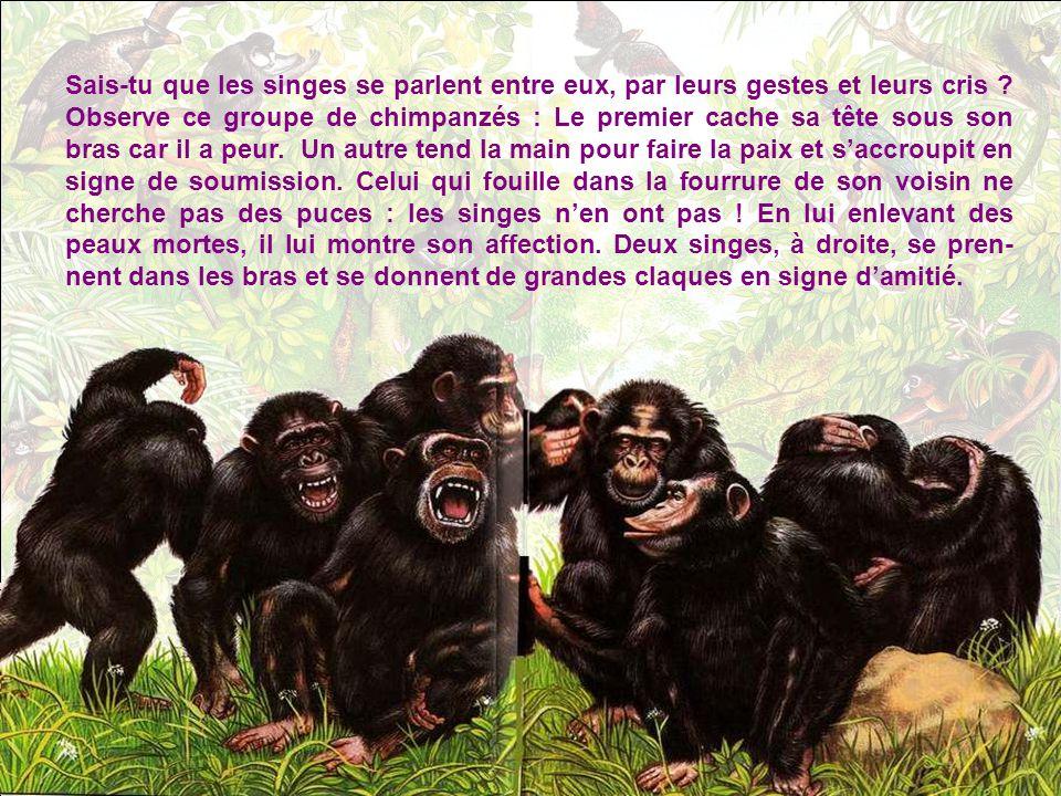 Sais-tu que les singes se parlent entre eux, par leurs gestes et leurs cris .