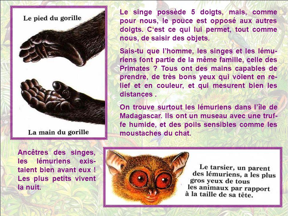 Le singe possède 5 doigts, mais, comme pour nous, le pouce est opposé aux autres doigts.
