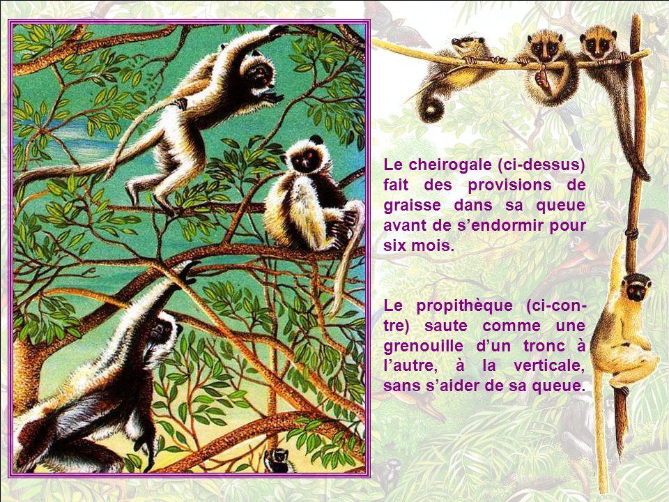 Le visage du mandrill, le plus co- loré des singes, ressemble a un masque chinois .