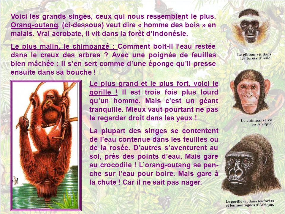 Voici les grands singes, ceux qui nous ressemblent le plus.