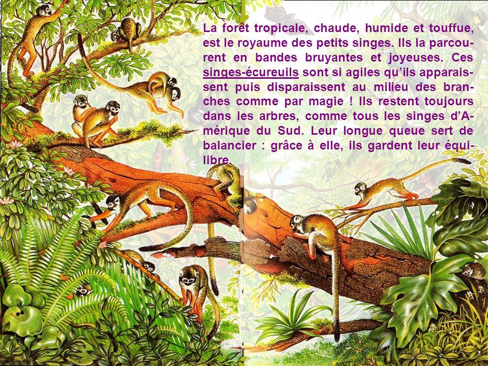 Voici les grands singes, ceux qui nous ressemblent le plus. Orang-outang. (ci-dessous) veut dire « homme des bois » en malais. Vrai acrobate, il vit d
