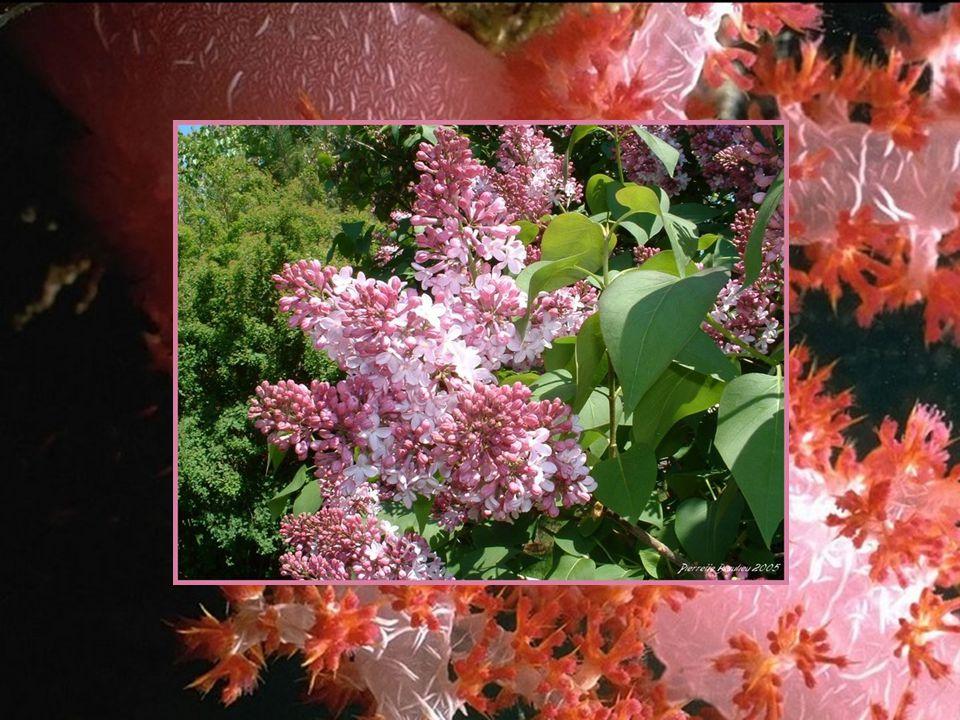 Simple et fragile Délicate et docile comme l'aurore qui vient de naître, comme l'arôme subtil d'un muguet en fleurs dans un jardin d'avril, j'ai cueil