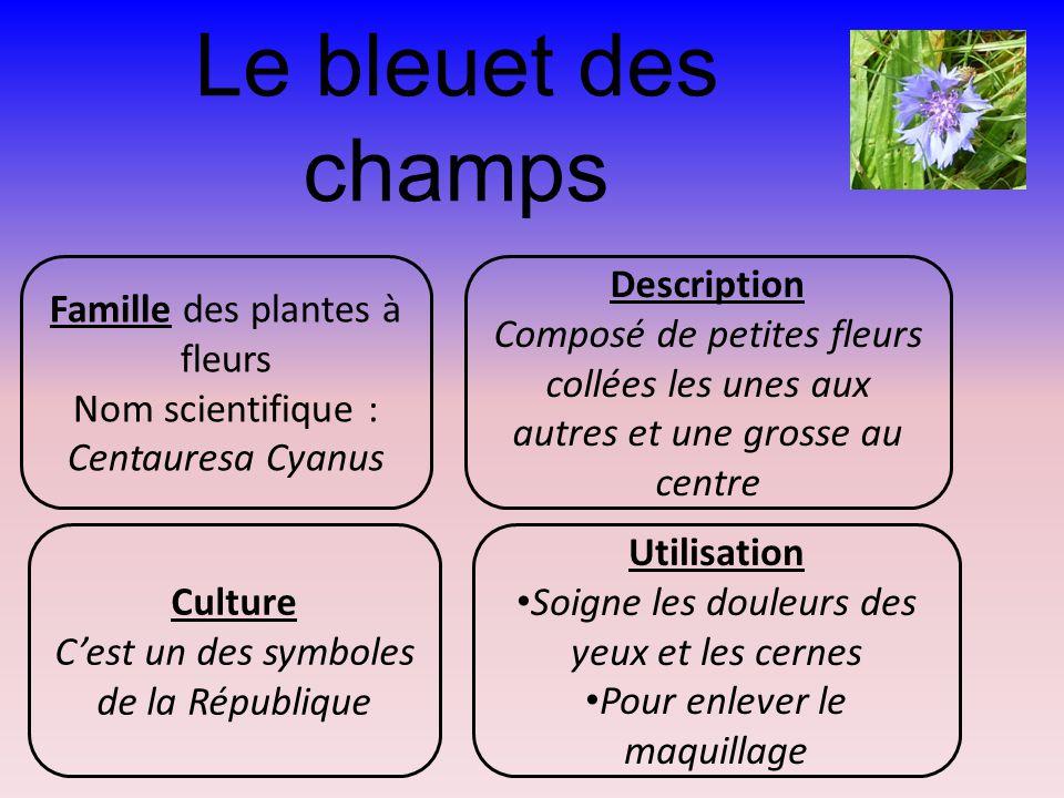 Le bleuet des champs Famille des plantes à fleurs Nom scientifique : Centauresa Cyanus Description Composé de petites fleurs collées les unes aux autr
