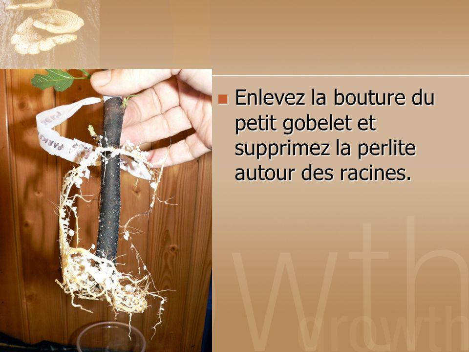 Enlevez la bouture du petit gobelet et supprimez la perlite autour des racines. Enlevez la bouture du petit gobelet et supprimez la perlite autour des