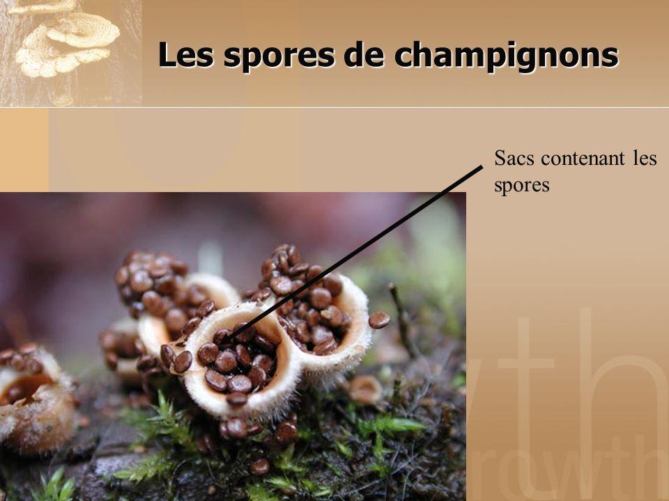 Les spores de champignons Sacs contenant les spores
