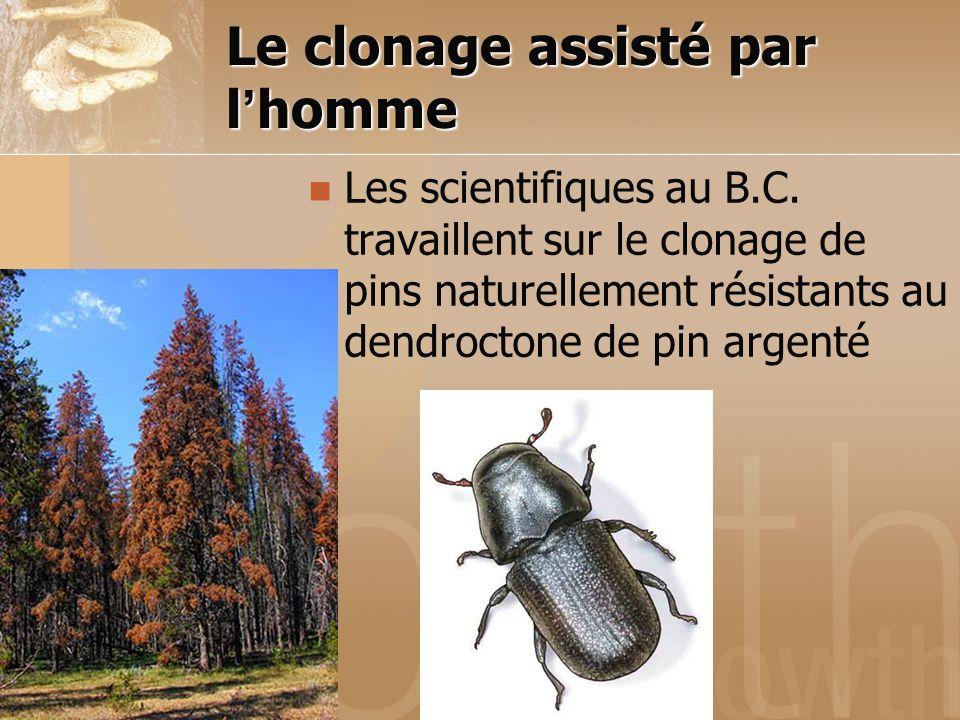 Le clonage assisté par l'homme Les scientifiques au B.C. travaillent sur le clonage de pins naturellement résistants au dendroctone de pin argenté