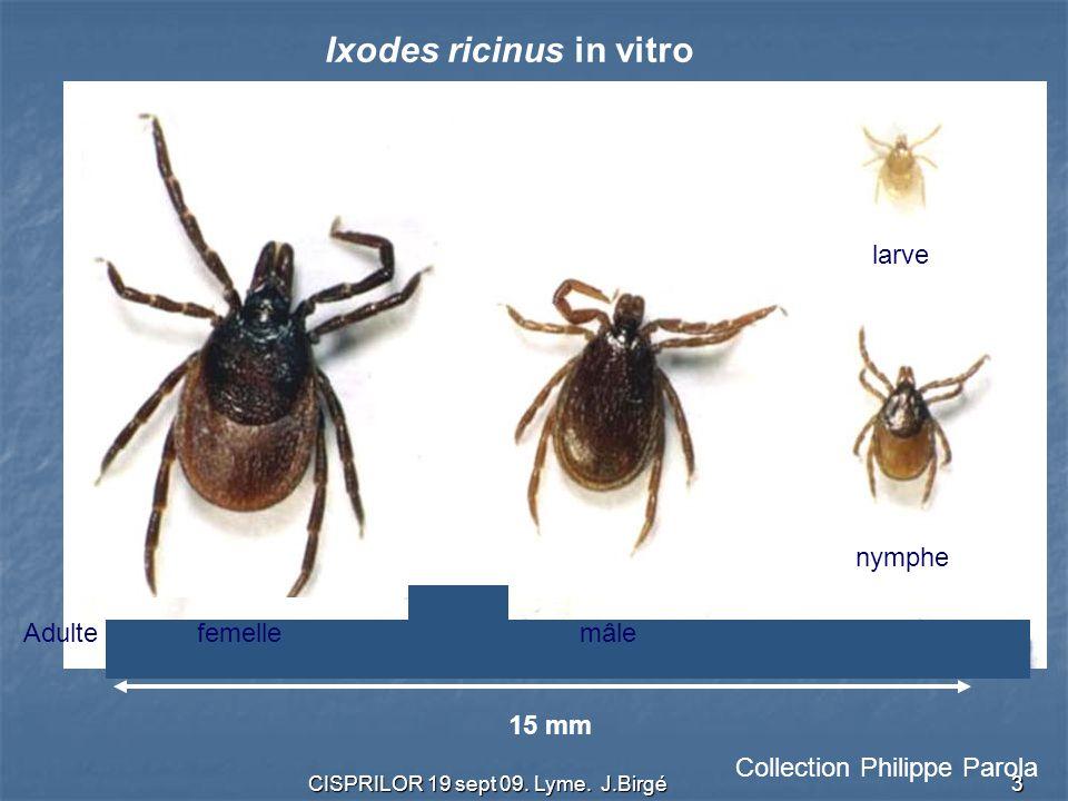 CISPRILOR 19 sept 09. Lyme. J.Birgé 3 15 mm Ixodes ricinus in vitro Collection Philippe Parola Adulte femelle mâle nymphe larve