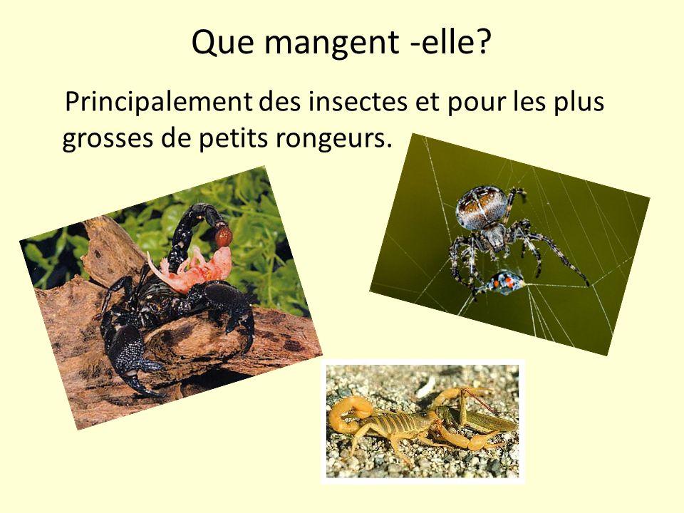 Que mangent -elle? Principalement des insectes et pour les plus grosses de petits rongeurs.