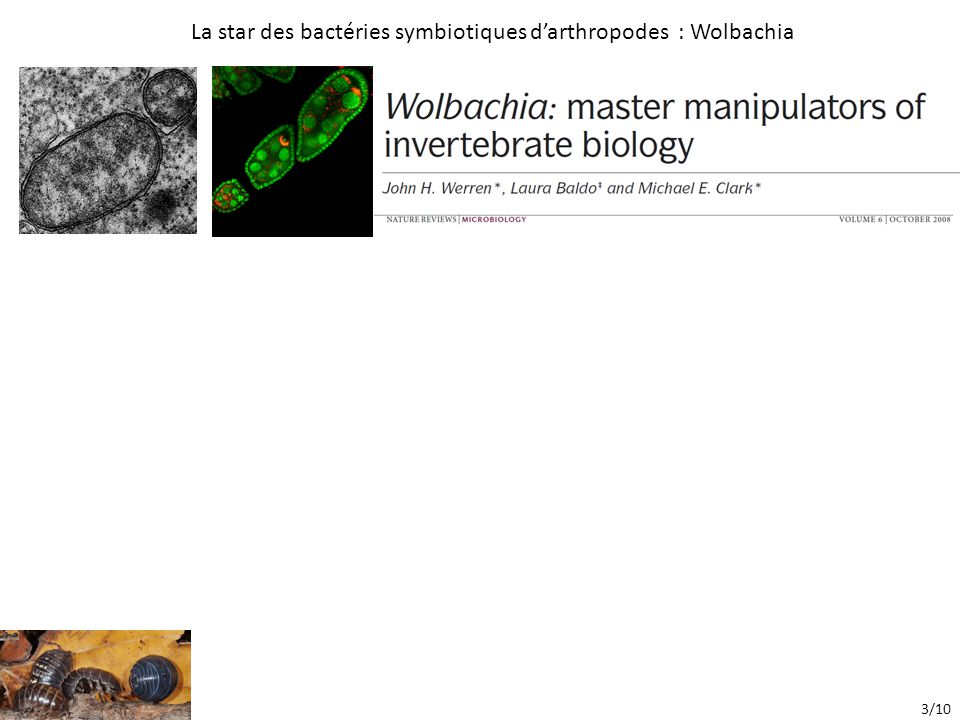 La star des bactéries symbiotiques d'arthropodes : Wolbachia 3/10