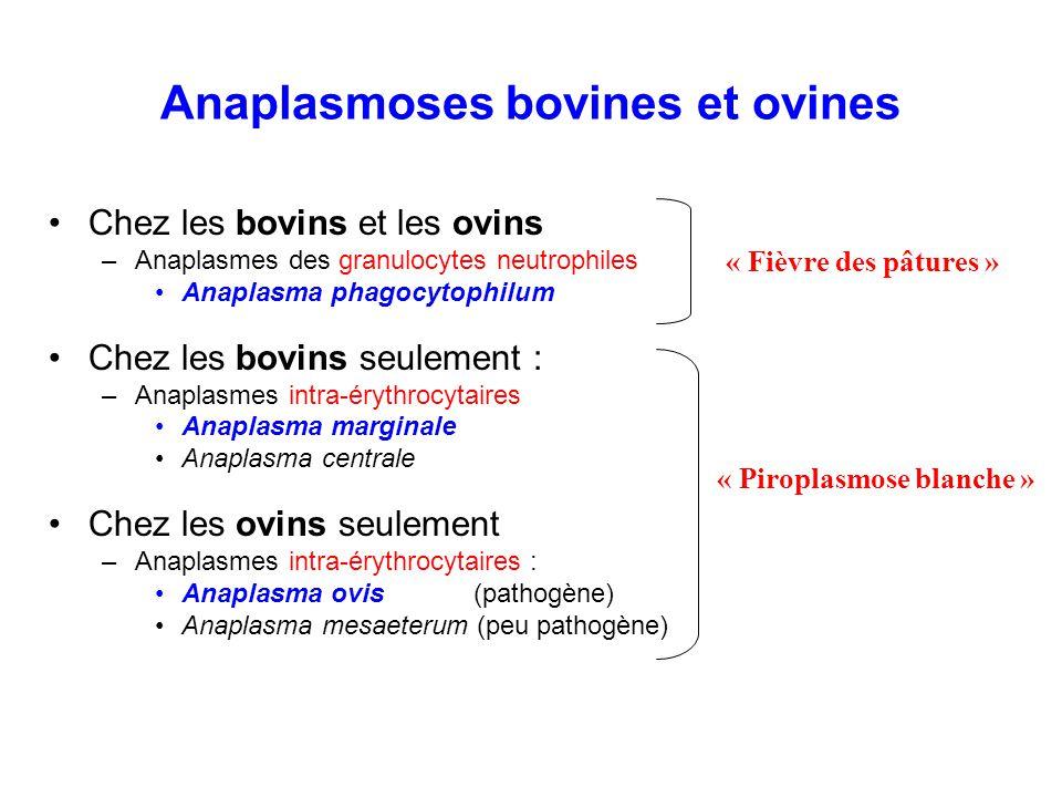 Anaplasmoses bovines et ovines Chez les bovins et les ovins –Anaplasmes des granulocytes neutrophiles Anaplasma phagocytophilum Chez les bovins seulem