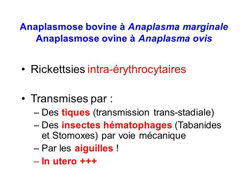 Anaplasmose bovine à Anaplasma marginale Anaplasmose ovine à Anaplasma ovis Rickettsies intra-érythrocytaires Transmises par : –Des tiques (transmissi