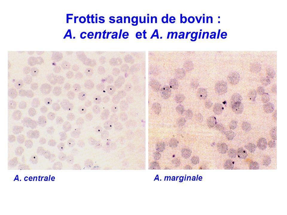 Frottis sanguin de bovin : A. centrale et A. marginale A. marginale A. centrale