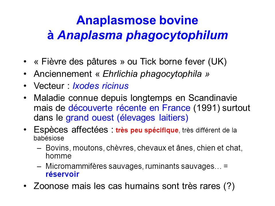 Anaplasmose bovine à Anaplasma phagocytophilum « Fièvre des pâtures » ou Tick borne fever (UK) Anciennement « Ehrlichia phagocytophila » Vecteur : Ixo
