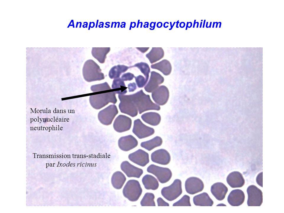 Anaplasma phagocytophilum Morula dans un polynucléaire neutrophile Transmission trans-stadiale par Ixodes ricinus