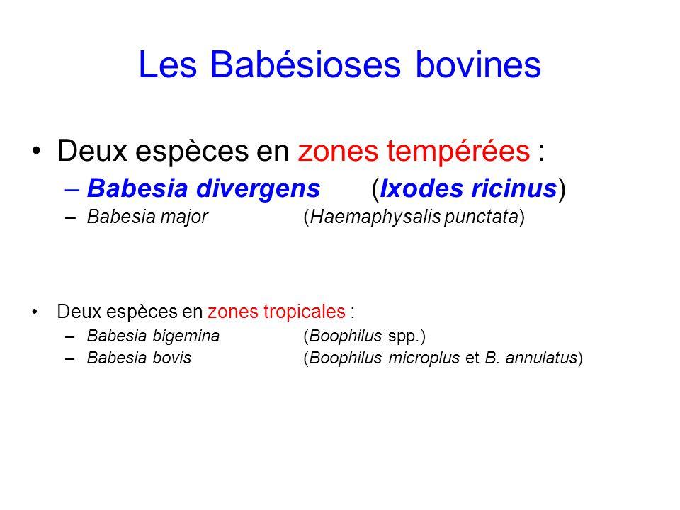 Les Babésioses bovines Deux espèces en zones tempérées : –Babesia divergens (Ixodes ricinus) –Babesia major (Haemaphysalis punctata) Deux espèces en z