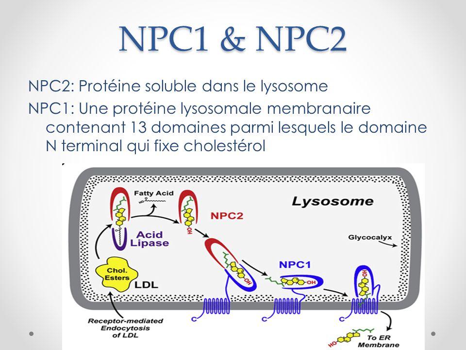 NPC1 & NPC2 NPC2: Protéine soluble dans le lysosome NPC1: Une protéine lysosomale membranaire contenant 13 domaines parmi lesquels le domaine N terminal qui fixe cholestérol