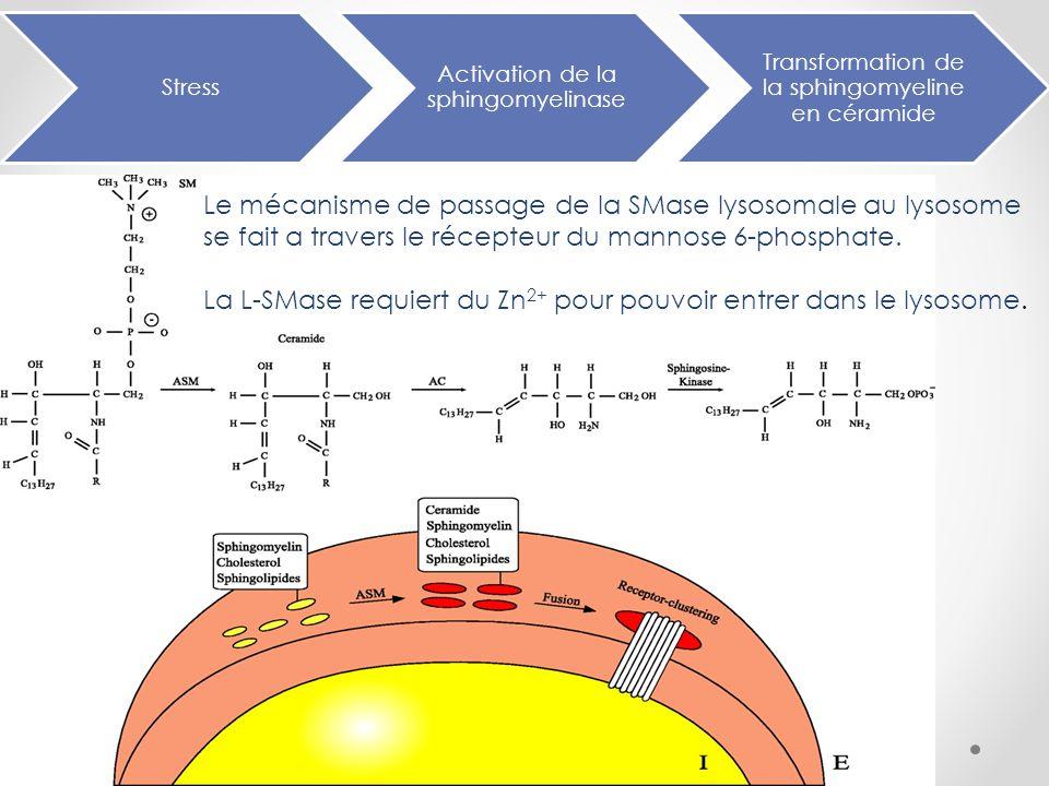 Synthèse de la Smase dans le RE Tranfert au corps de Golgi et marquage par le mannose-6-P Fusion avec le recepteur du mannose- 6-P du lysosome et formation d'une vesicule de transport Vesicule de transport + Endosome tardif = Endolysosome