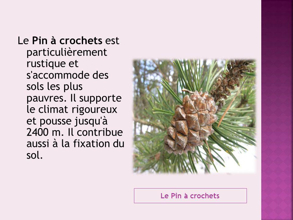 Le Pin à crochets Le Pin à crochets est particulièrement rustique et s'accommode des sols les plus pauvres. Il supporte le climat rigoureux et pousse