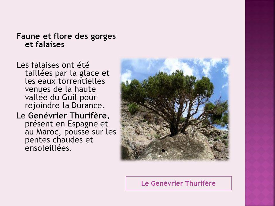 Le Genévrier Thurifère Faune et flore des gorges et falaises Les falaises ont été taillées par la glace et les eaux torrentielles venues de la haute v