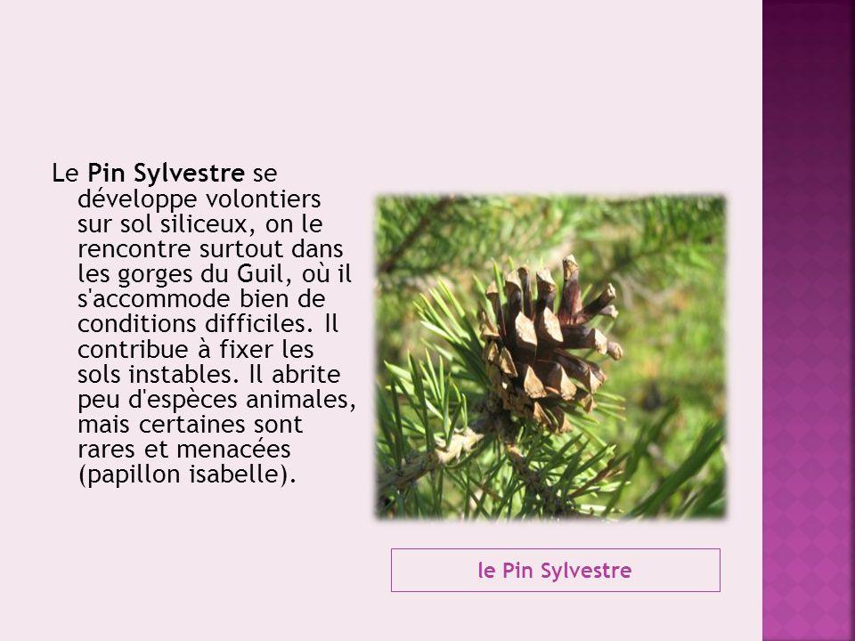 le Pin Sylvestre Le Pin Sylvestre se développe volontiers sur sol siliceux, on le rencontre surtout dans les gorges du Guil, où il s'accommode bien de