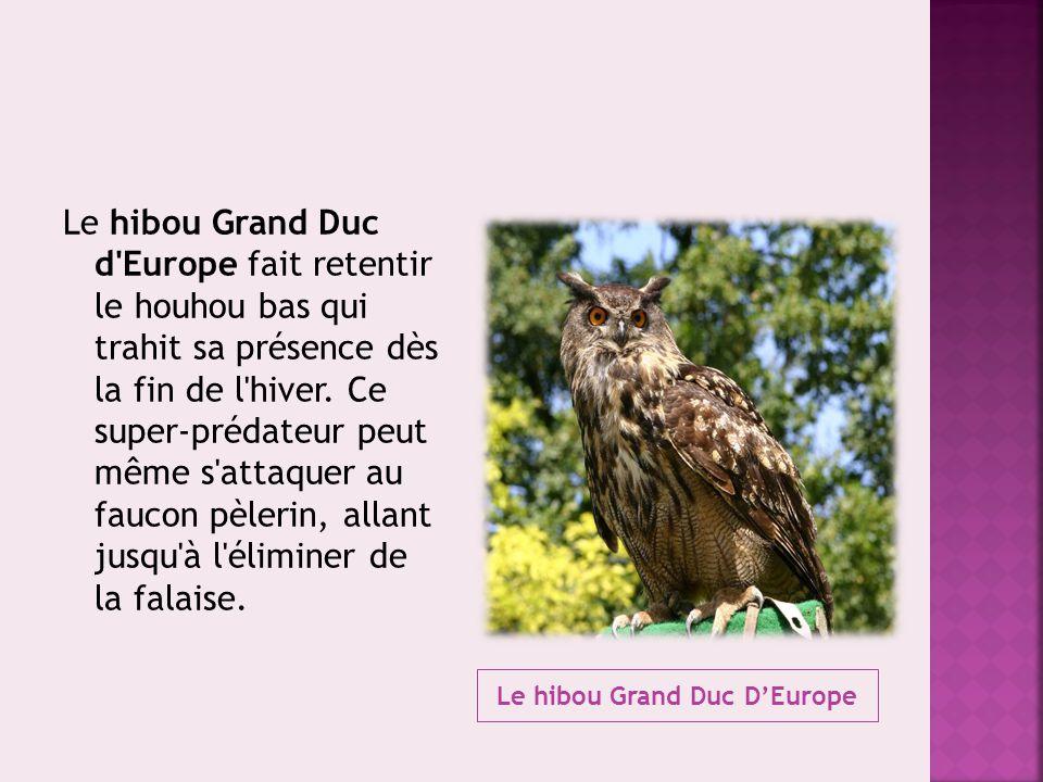 Le hibou Grand Duc D'Europe Le hibou Grand Duc d'Europe fait retentir le houhou bas qui trahit sa présence dès la fin de l'hiver. Ce super-prédateur p