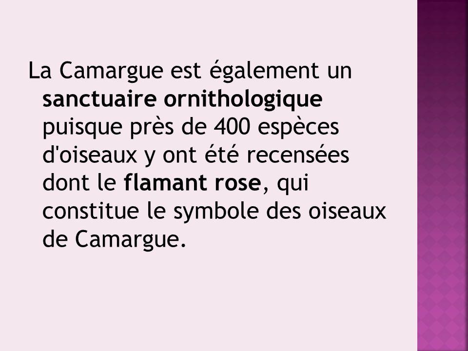 La Camargue est également un sanctuaire ornithologique puisque près de 400 espèces d'oiseaux y ont été recensées dont le flamant rose, qui constitue l