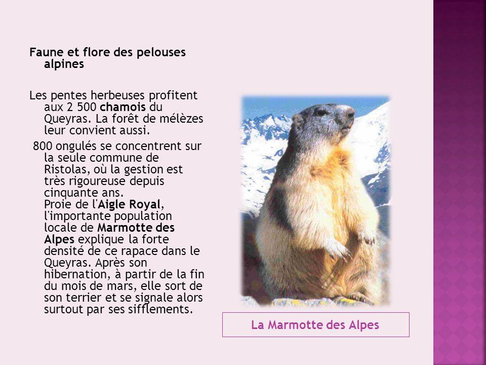 La Marmotte des Alpes Faune et flore des pelouses alpines Les pentes herbeuses profitent aux 2 500 chamois du Queyras. La forêt de mélèzes leur convie