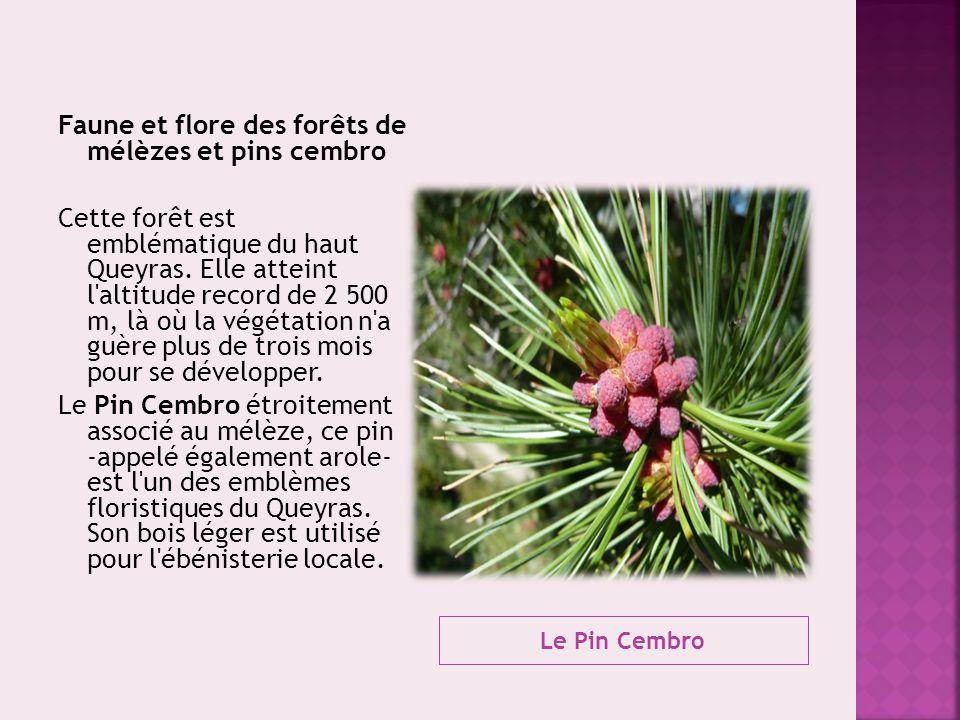 Le Pin Cembro Faune et flore des forêts de mélèzes et pins cembro Cette forêt est emblématique du haut Queyras. Elle atteint l'altitude record de 2 50