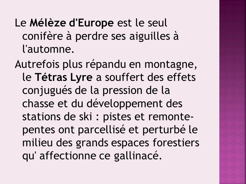 Le Mélèze d'Europe est le seul conifère à perdre ses aiguilles à l'automne. Autrefois plus répandu en montagne, le Tétras Lyre a souffert des effets c