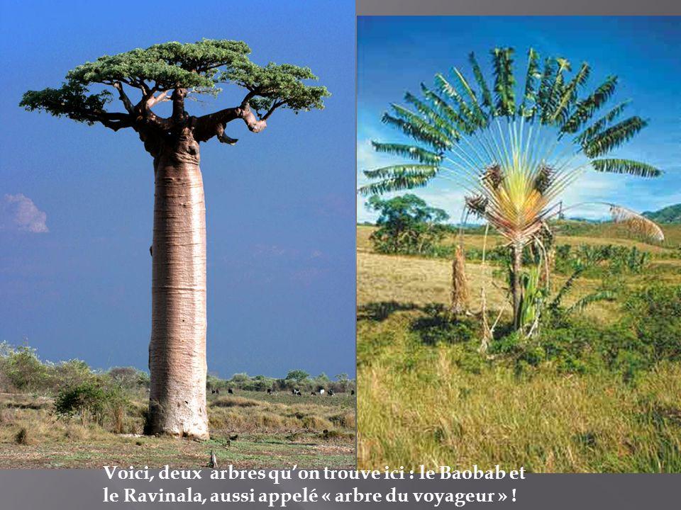 Voici, deux arbres qu'on trouve ici : le Baobab et le Ravinala, aussi appelé « arbre du voyageur » !