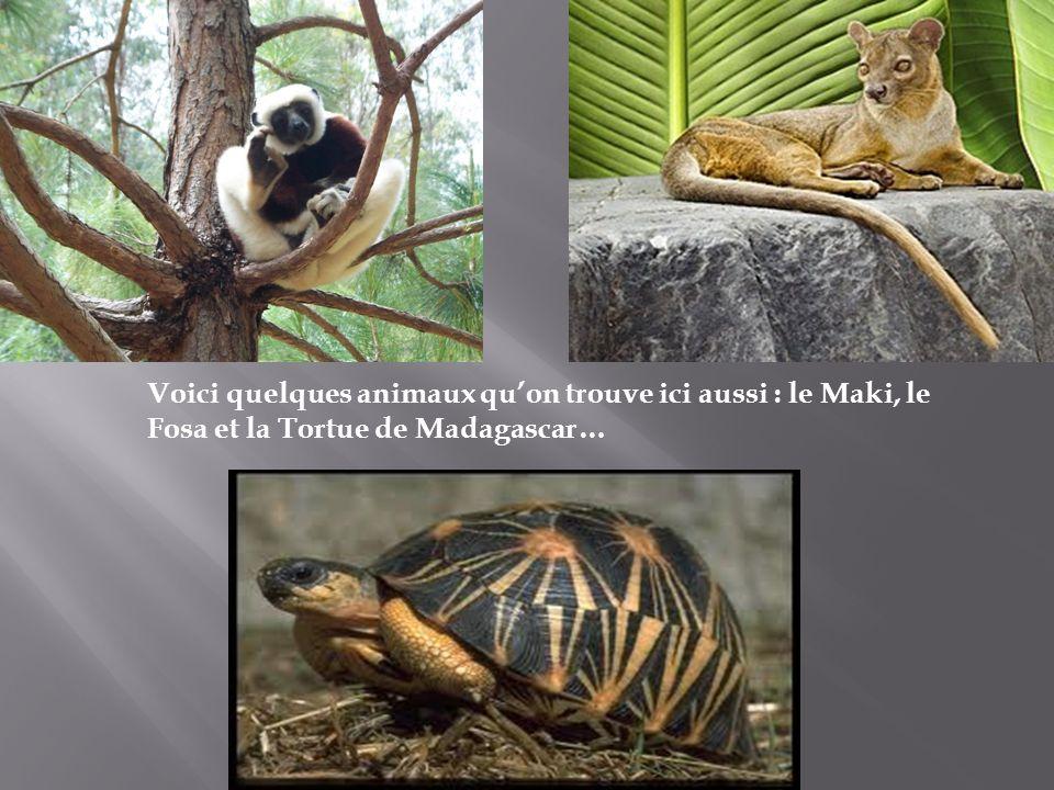 Voici quelques animaux qu'on trouve ici aussi : le Maki, le Fosa et la Tortue de Madagascar…
