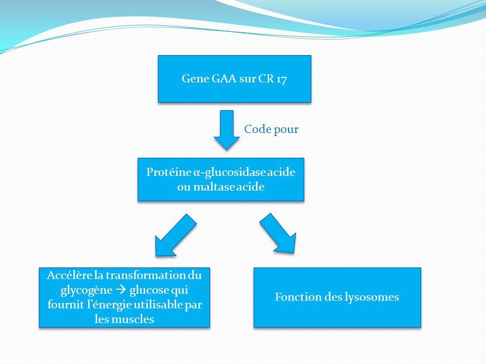 Gene GAA sur CR 17 Code pour Protéine α-glucosidase acide ou maltase acide Accélère la transformation du glycogène  glucose qui fournit l'énergie uti