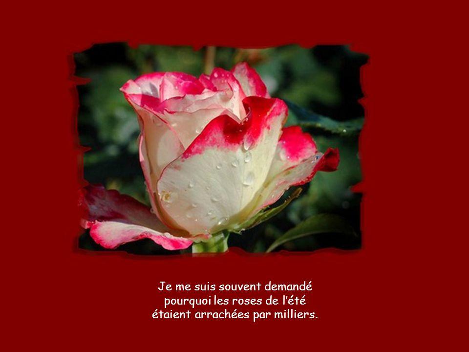 Je me suis souvent demandé pourquoi les roses de l'été étaient arrachées par milliers.