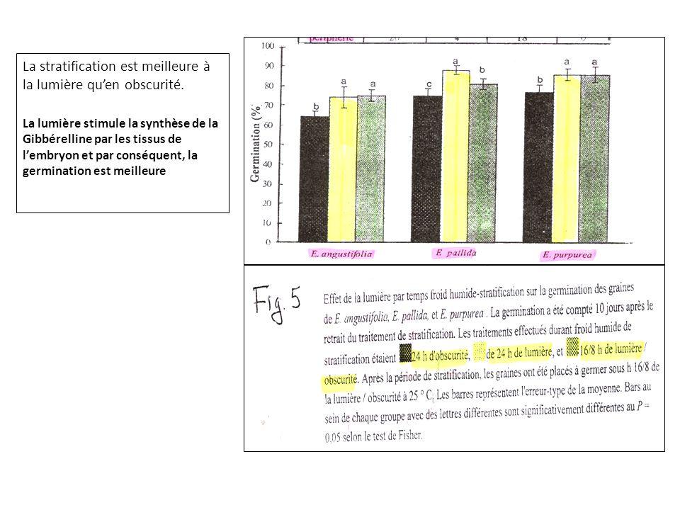 La stratification est meilleure à la lumière qu'en obscurité. La lumière stimule la synthèse de la Gibbérelline par les tissus de l'embryon et par con