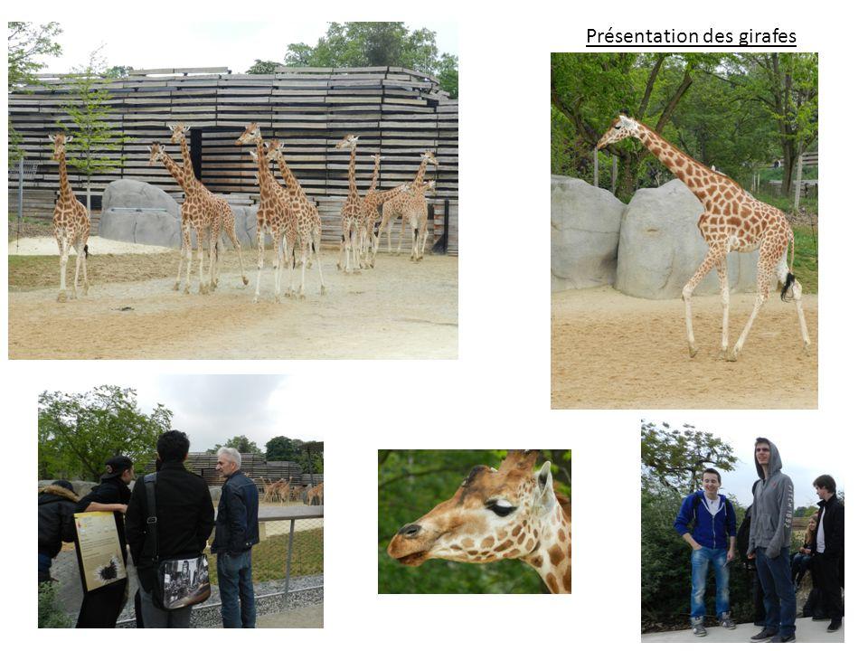 Présentation des girafes