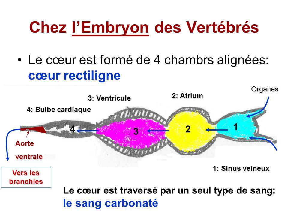 Chez l'Embryon des Vertébrés Le cœur est formé de 4 chambrs alignées: cœur rectiligne 1: Sinus veineux 1 2 3 4 2: Atrium 3: Ventricule 4: Bulbe cardiaque Aorteventrale Vers les branchies Le cœur est traversé par un seul type de sang: le sang carbonaté Organes