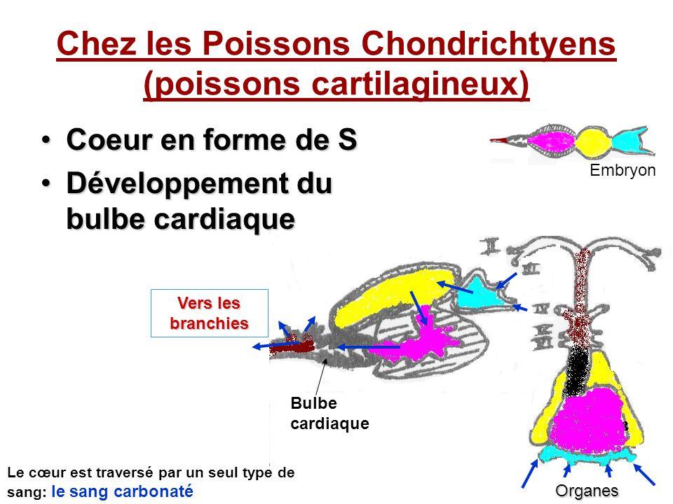 Chez les Poissons Chondrichtyens (poissons cartilagineux) Coeur en forme de SCoeur en forme de S Développement du bulbe cardiaqueDéveloppement du bulbe cardiaque Vers les branchies Organes Bulbe cardiaque Le cœur est traversé par un seul type de sang: le sang carbonaté Embryon